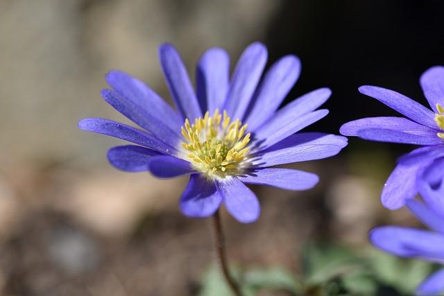 Balkan Anemone, Flower, Blossom, Bloom, Blue, Plant