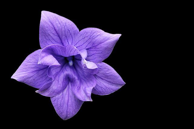 Balloon Flower, Violet, Blossom, Bloom, Purple