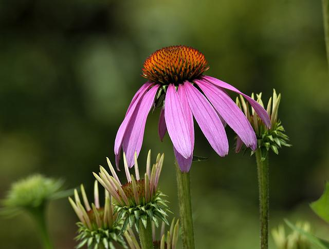 Cone Flower, Beauty, Blossom, Cone, Bloom, Plant, Green