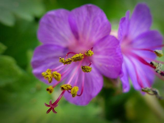 Bee Pollen, Pollen, Cranesbill, Blossom, Bloom