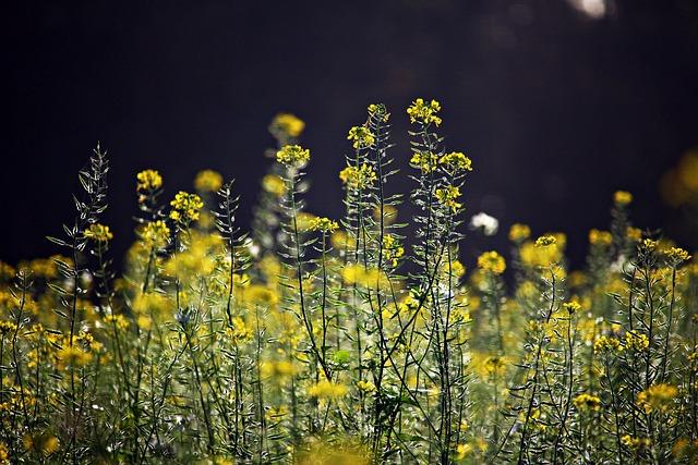 Blossom, Bloom, Mustard, Bees, Zwischensaat, Field