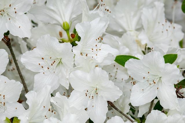 Azalea, Palestrina Azalea, Flowers, Blossom, Bloom