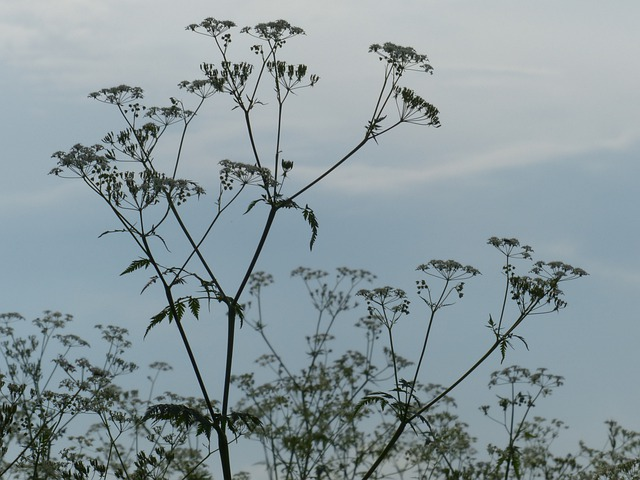 Cow Parsley, Blossom, Bloom, Back Light, White, Meadow