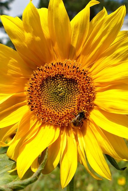 Sunflower, Close Up, Beautiful, Yellow, Blossom, Bloom