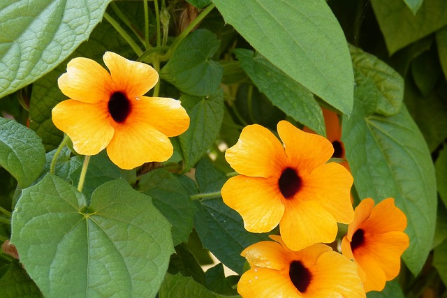 Black Eyed Susan, Thunbergia Alata, Blossom, Bloom