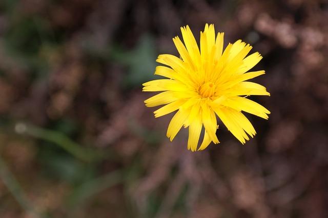 Reported Hawksbeard, Blossom, Bloom, Yellow, Bloom