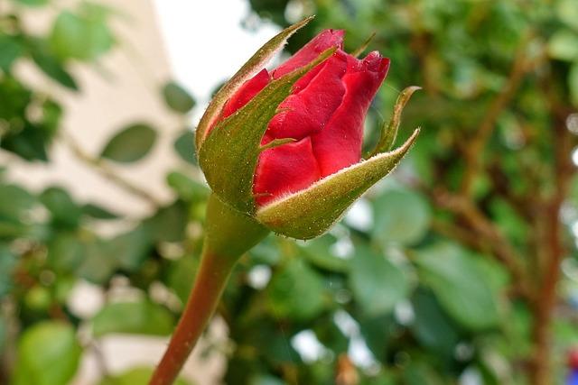 Rose, Red, Bud, Blossom, Bloom, Flower, Red Roses