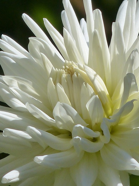 Cactus Dahlia, Dahlia, Blossom, Bloom, White, Flower