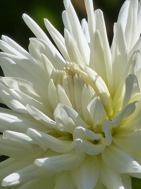 Cactus Dahlia, Dahlia, Blossom, Bloom, White, Flower