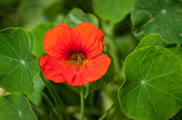 Cress, Nasturtium, Carbine Greenhouse, Blossom, Bloom