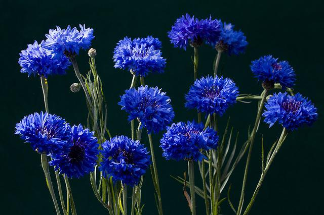 Cornflowers, Blossom, Bloom, Blue
