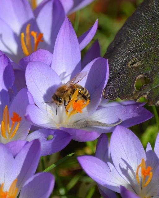 Nature, Plant, Crocus, Blossom, Bloom, Bee