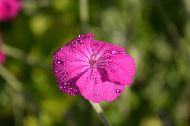 Crowns Campion, Lychnis Coronaria, Blossom, Bloom