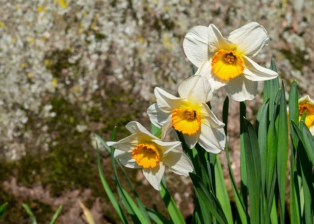 Daffodils, Flowers, Bloom, Blossom, Bloom