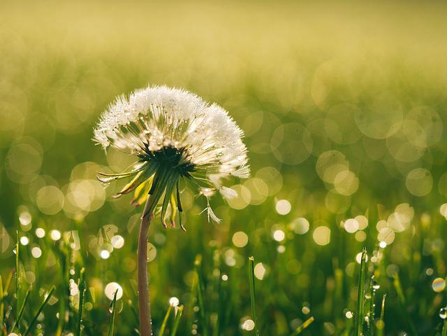 Bloom, Blossom, Dandelion, Dew, Flora, Flower