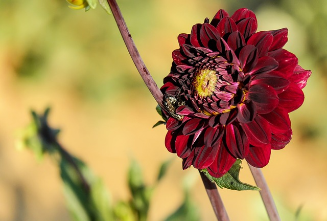 Dahlia, Flower, Blossom, Bloom, Flowers, Schwarzrot