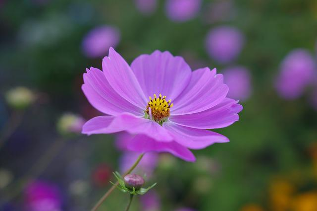 Cosmea, Flower, Blossom, Bloom, Plant, Summer, Gorgeous