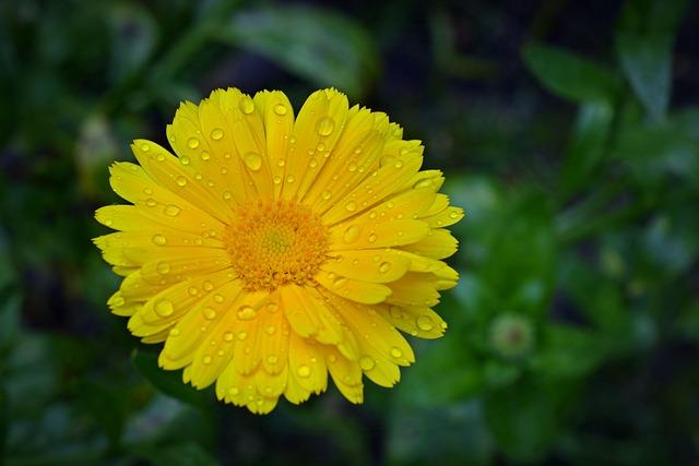 Marigold, Blossom, Bloom, Close, Flower