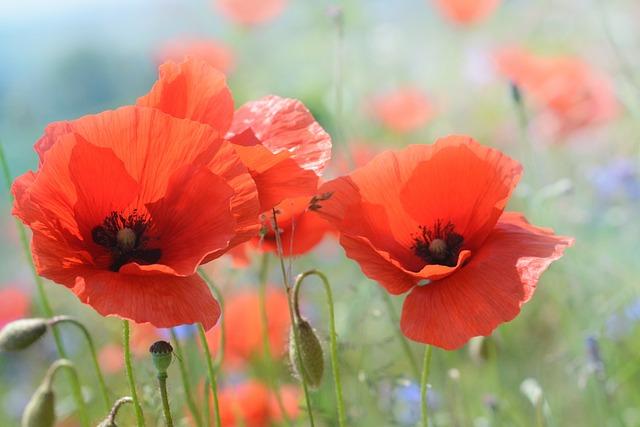 Poppy, Blossom, Bloom, Flower, Nature, Red Orange