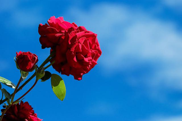 Rose, Flower, Blossom, Bloom, Bloom, Red, Sky