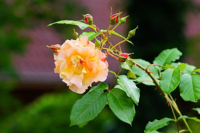 Flower, Blossom, Bloom, Rose, Tender, Garden, Close