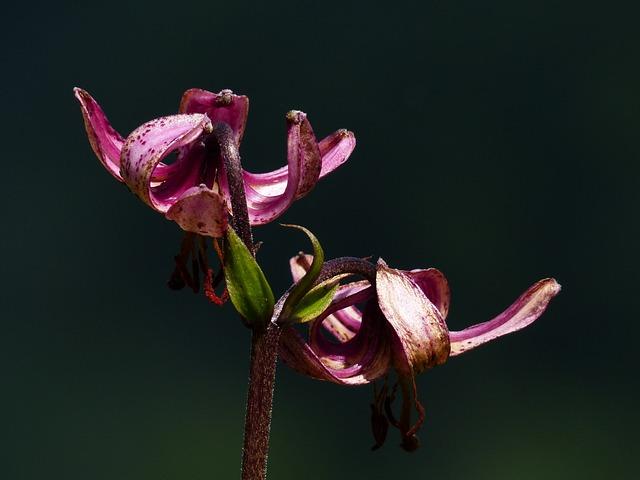 Turk's Cap Lily, Flower, Blossom, Bloom, Dark Pink