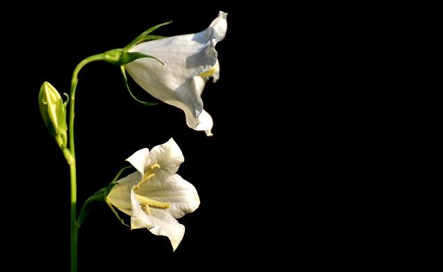 Flowers, Bells, White, Blossom, Bloom, Plant, Beautiful
