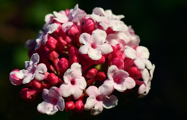 Winter Snow Ball, Fragrant Snowball, Blossom, Bloom
