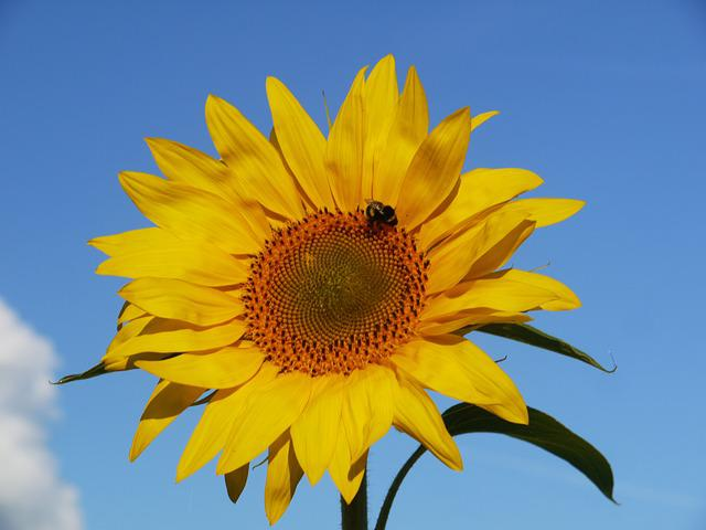 Sun Flower, Blossom, Bloom, From The Front, Sunny