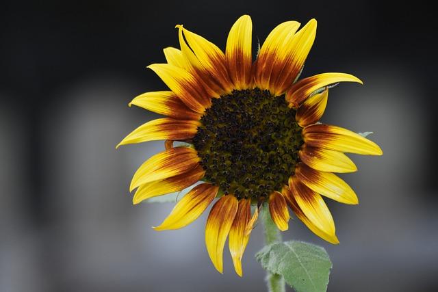 Sun Flower, Garden, Nature, Yellow, Blossom, Bloom