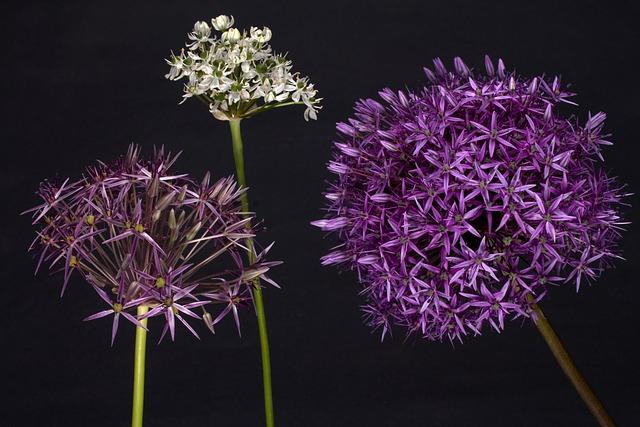 Garlic, Blossom, Bloom, Decorative Garlic, Garden