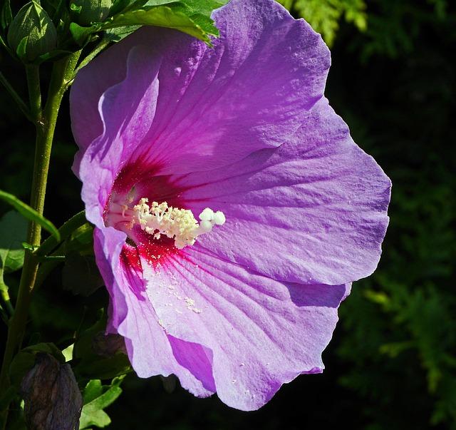 Hibiscus, Blossom, Bloom, Purple, Violet, Stamens