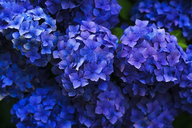 Bloom, Hydrangea, Blossom, Close-up, Cluster, Flora