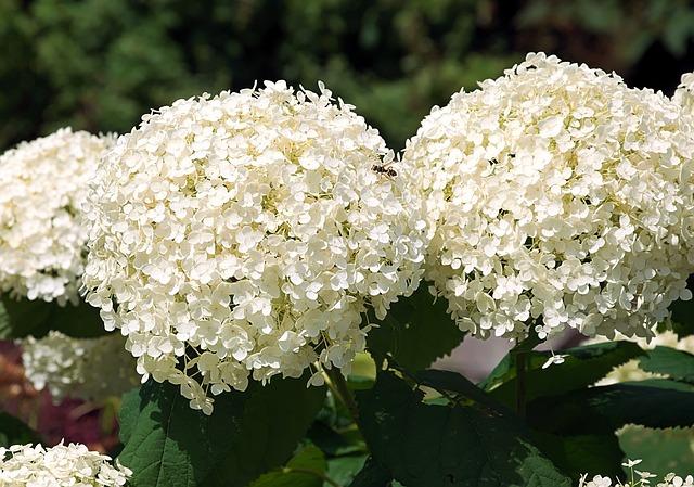 Hydrangea, Blossom, Bloom, Hydrangea Flower