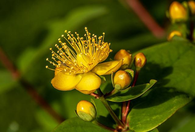 St John's Wort, Hypericum Perforatum, Blossom, Bloom