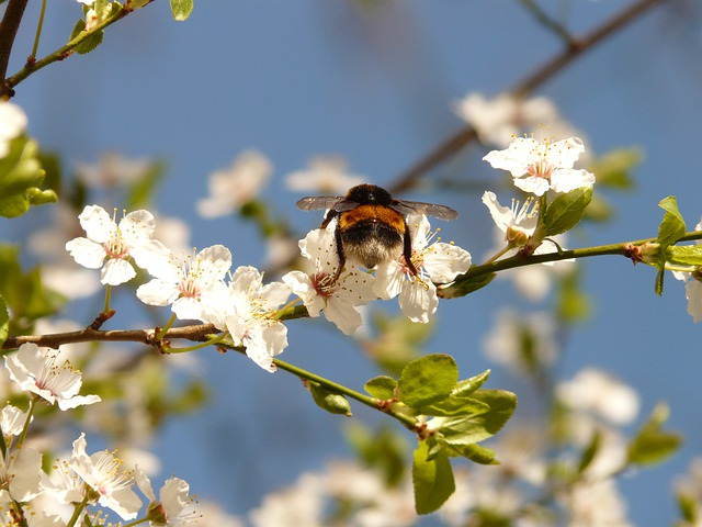 Wild Plum, Blossom, Bloom, Hummel, Insect, Nectar