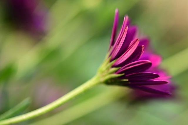 Marguerite, Flower, Blossom, Bloom, Close Up, Pink