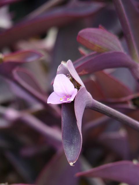 Blossom, Bloom, Mexican Dreimasterblume