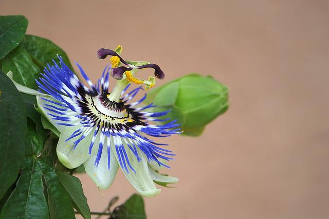 Passion Flower, Blossom, Bloom, Passiflora