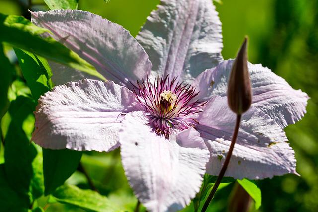 Clematis, Blossom, Bloom, Pink, Climber Plant, Nature