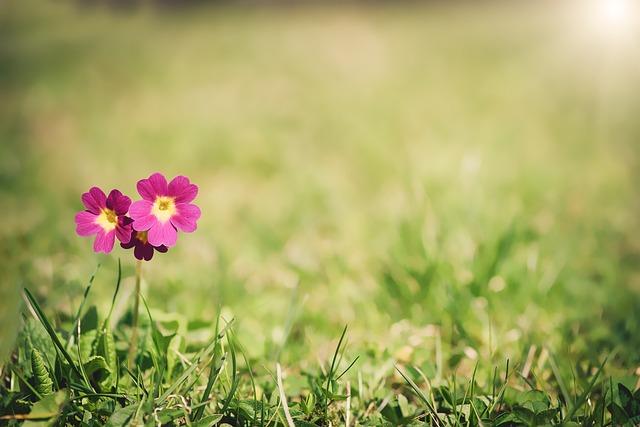 Primrose, Meadow Primrose, Flower, Blossom, Bloom, Pink