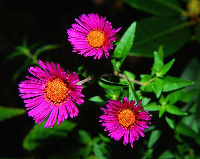 Aster, Herbstaster, Flower, Blossom, Bloom, Purple
