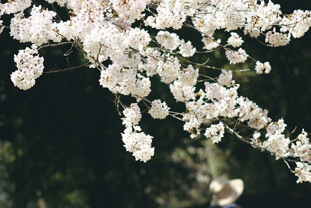 Sakura, Flowers, Spring, Bloom, Nature, Japan, Blossom