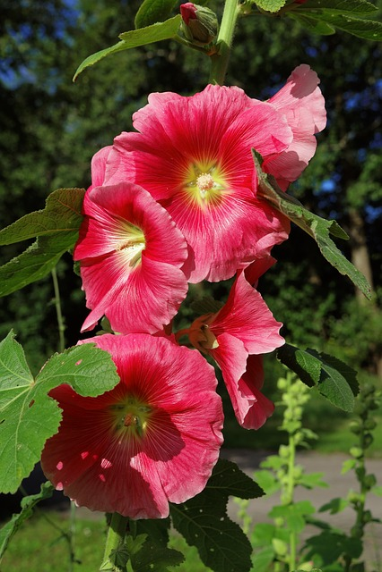 Blossom, Bloom, Stock Rose, Red, Stock Rose Garden