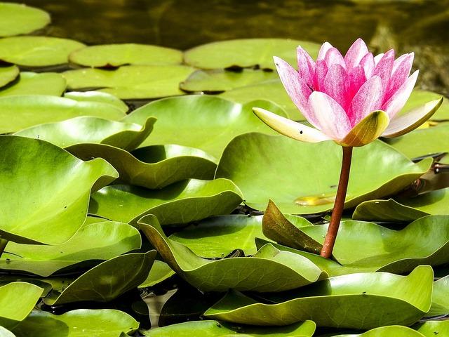 Water Lily, Pond Plant, Blossom, Bloom, Pond