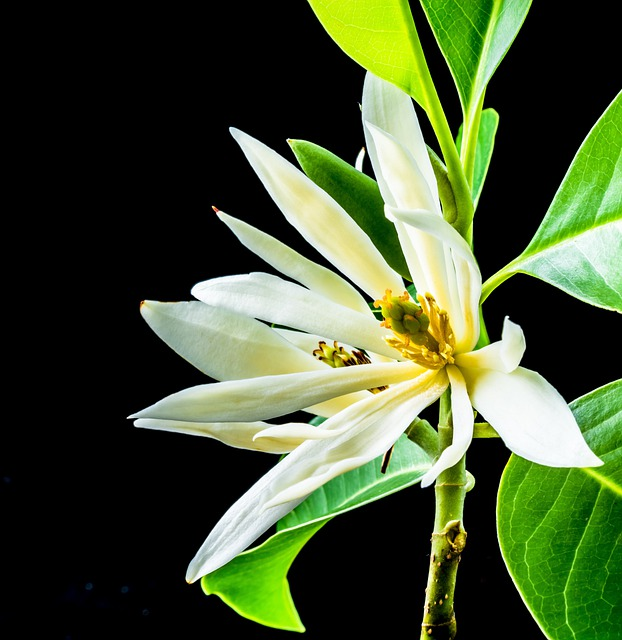 Michelia Champaca, Blossom, Blossom, Bloom, White