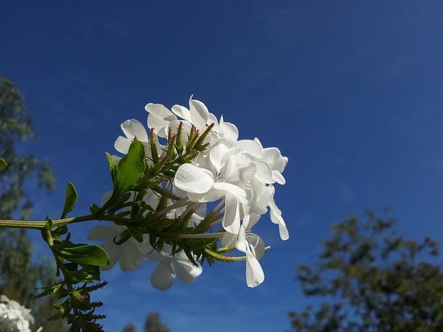 Blue Sky, Floral, Plant, Natural, Blossom, Bloom, Petal