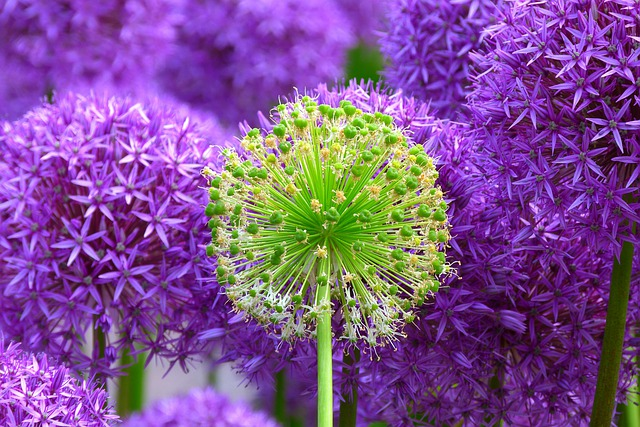 Flowers, Buds, Giant Allium, Bloom, Blossom