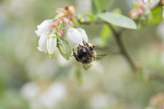Bee, Blueberry, Bush, Blossom, Bloom, Nature, Insect