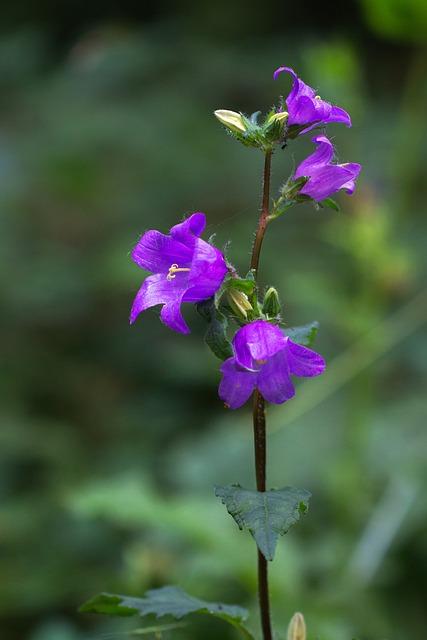 Bellflower, Campanula, Blossom, Bloom, Purple